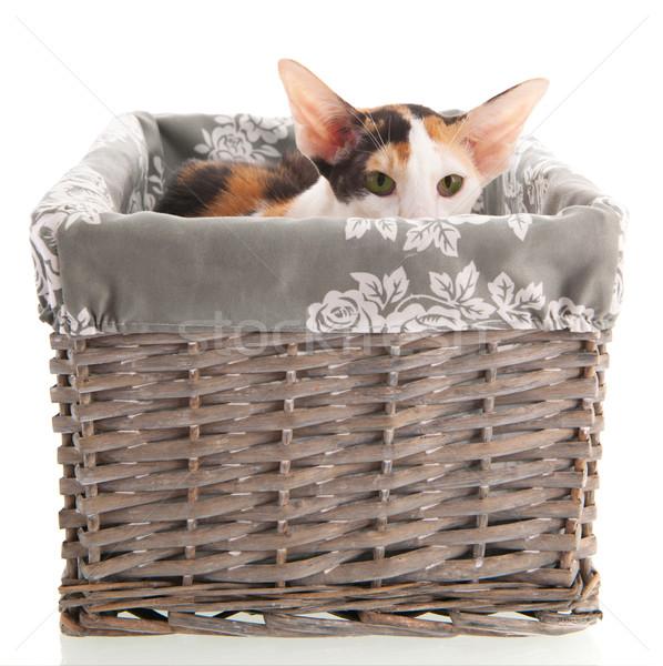 Korthaar kat verbergen mand geïsoleerd Stockfoto © ivonnewierink
