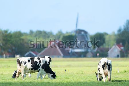 коров голландский пейзаж Голландии корова зеленый Сток-фото © ivonnewierink