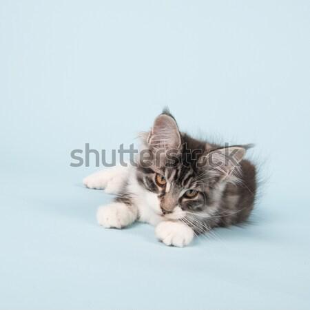 Maine coon kitten laying on blue Stock photo © ivonnewierink
