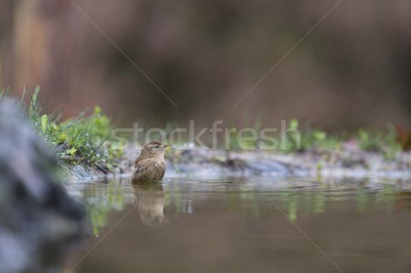 Bathing Eurasian wren Stock photo © ivonnewierink