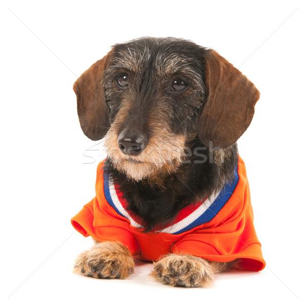 Wire haired dachshund as sports fan Stock photo © ivonnewierink