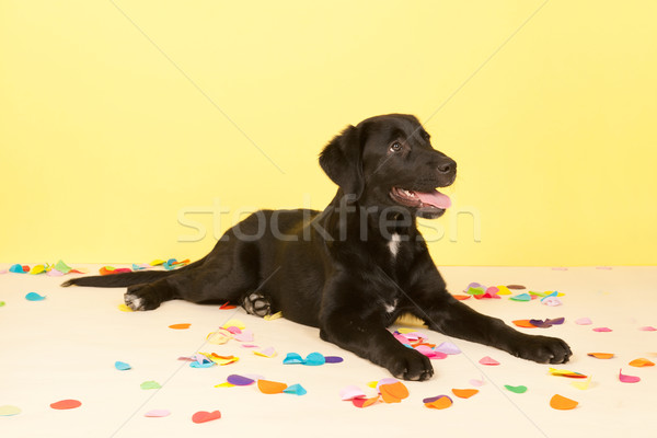 Cross breed dog laying with confetti Stock photo © ivonnewierink