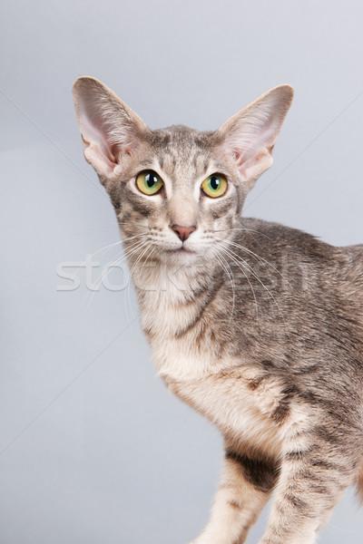 Stúdió portré sziámi macska levendula izolált szürke Stock fotó © ivonnewierink