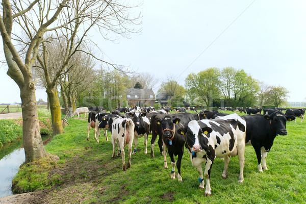 типичный голландский коров пейзаж фермы дома Сток-фото © ivonnewierink