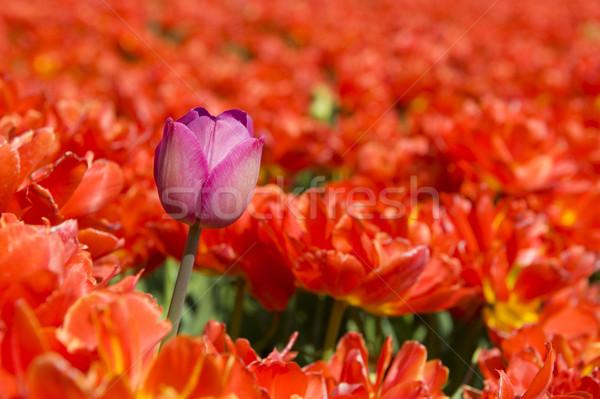 one different tulip Stock photo © ivonnewierink