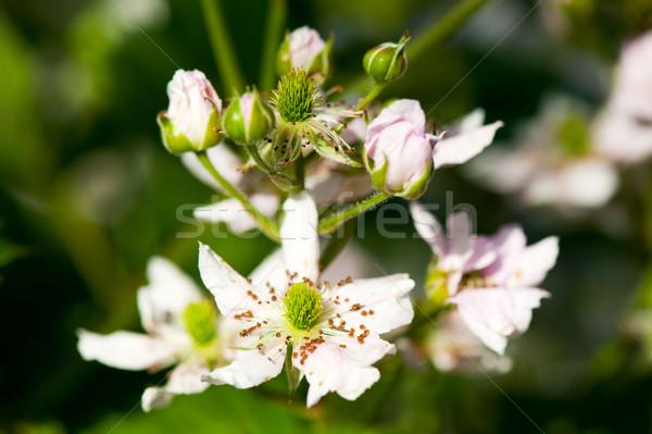 Bramble berry flowers Stock photo © ivonnewierink