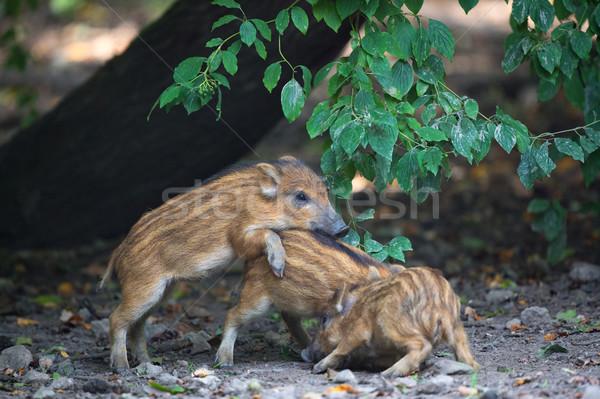 Young wild pigs Stock photo © ivonnewierink