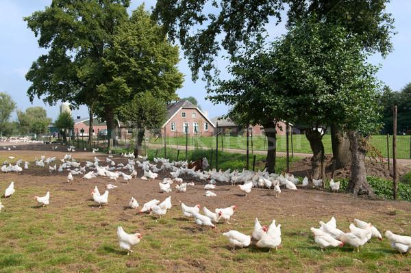Chicken farm Stock photo © ivonnewierink