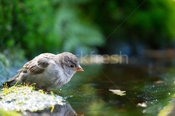 Wróbel woda pitna jezioro lasu charakter drzew Zdjęcia stock © ivonnewierink