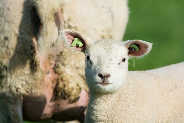 Stock photo: Lamb in spring