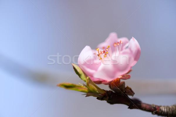 Fleur nectarine floraison arbre rose fleur Photo stock © ivonnewierink