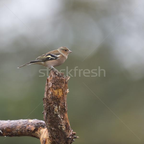 Female finch on branch Stock photo © ivonnewierink