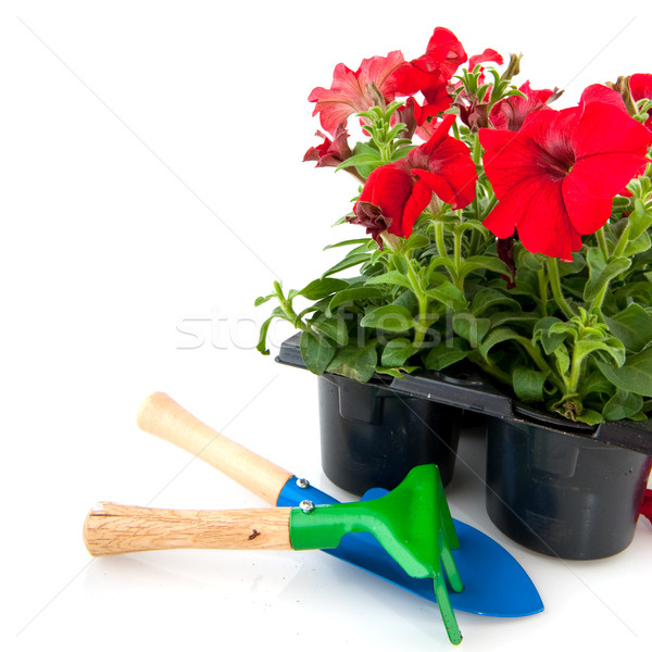 Red petunia Stock photo © ivonnewierink