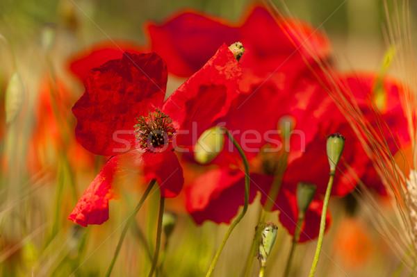 Kırmızı gelincikler tahıl alanları çiçekler tarım Stok fotoğraf © ivonnewierink