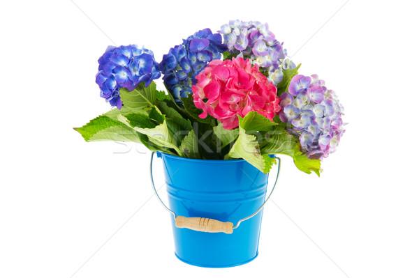 Blue and pink Hydrangea in bucket Stock photo © ivonnewierink