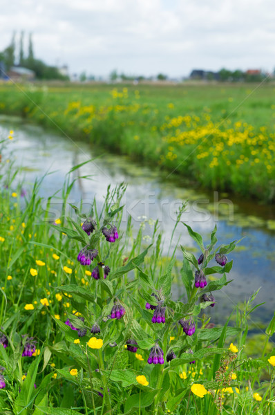 Purple Comfrey in landscape Stock photo © ivonnewierink