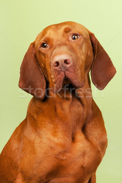 Hungarian or Magyar Vizsla Stock photo © ivonnewierink