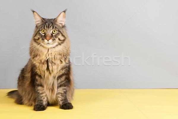 Maine coon cat Stock photo © ivonnewierink