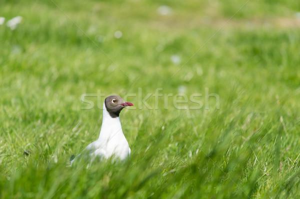 black-headed gull in field Stock photo © ivonnewierink