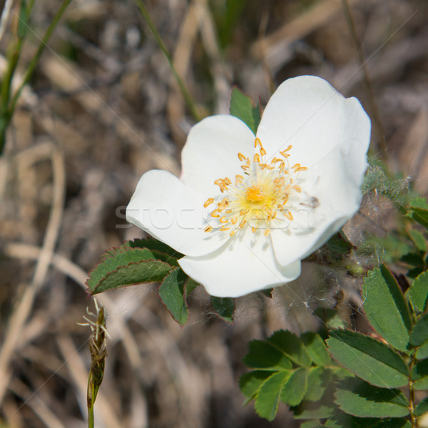 White Parnassia Stock photo © ivonnewierink