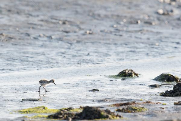 Csirke víz tavasz madár iszik Hollandia Stock fotó © ivonnewierink