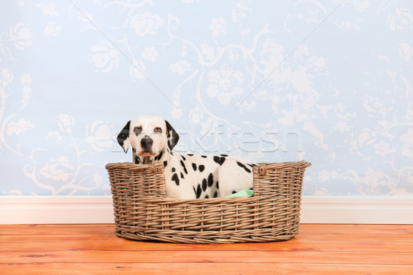 Dalmatian dog laying in basket Stock photo © ivonnewierink