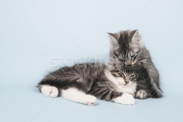 Maine gattini lavaggio altro gattino Foto d'archivio © ivonnewierink