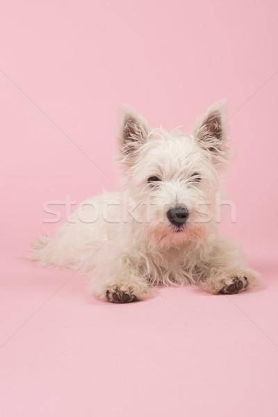 Zdjęcia stock: Zachód · biały · terier · szczeniak · baby · psa