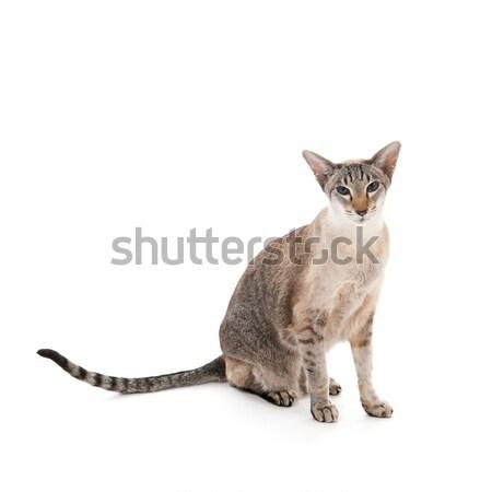 Sziámi macska pontok izolált fehér háttér állat Stock fotó © ivonnewierink
