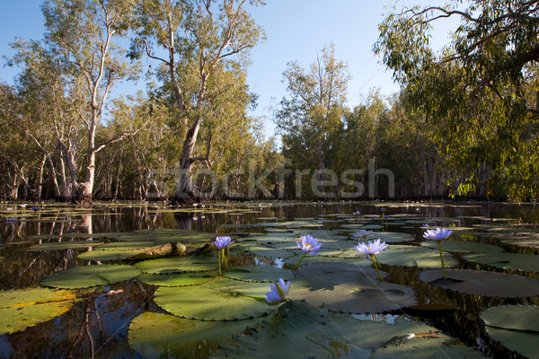 Mangrove forest in water with Lotus flowers Stock photo © ivonnewierink