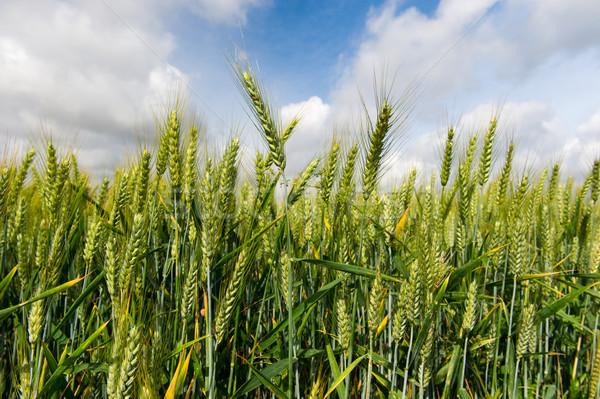 Centeno campo hoja campos grano Foto stock © ivonnewierink