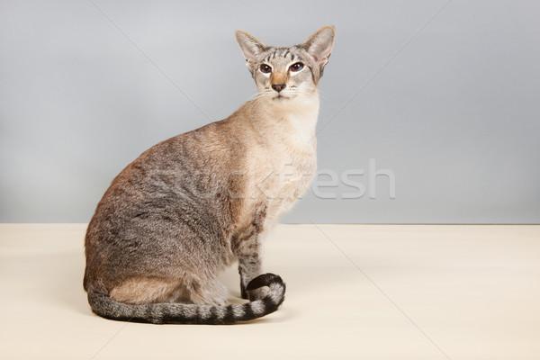 Sziámi macska szürke stúdió macska Stock fotó © ivonnewierink