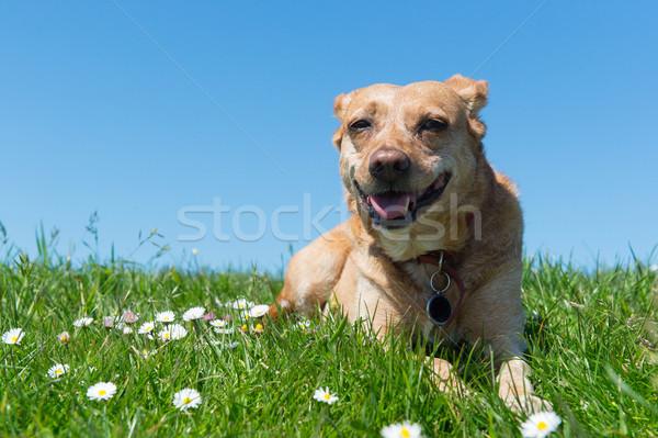 Dog laying in grass Stock photo © ivonnewierink