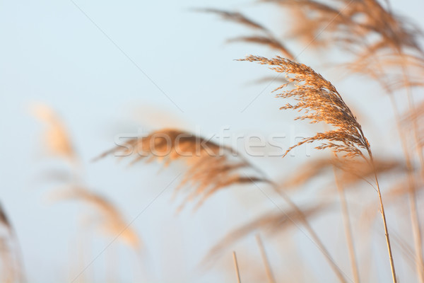 Swaying reeds Stock photo © ivonnewierink