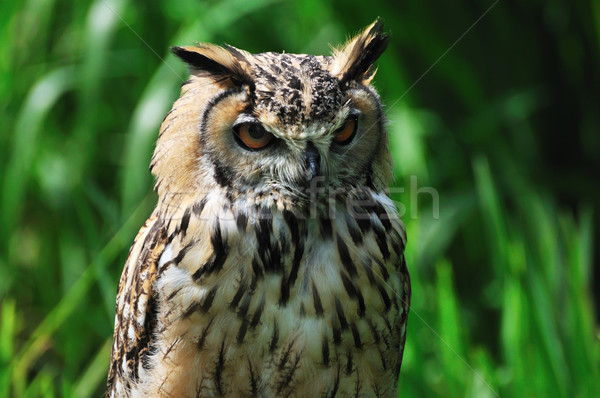 Eagle owl nature animaux chouette Photo stock © ivonnewierink