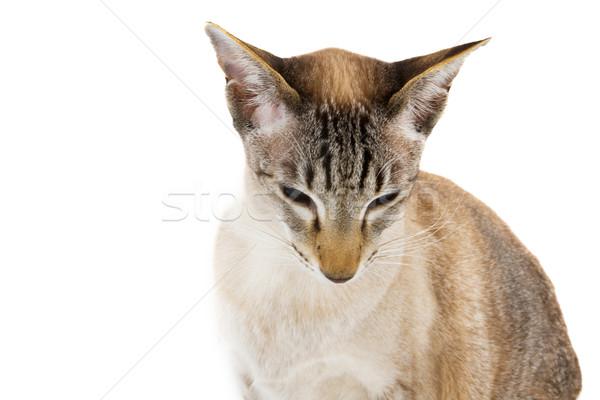 Sziámi macska portré macska izolált Stock fotó © ivonnewierink