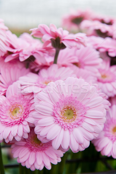 Pink bouquet Gerber Stock photo © ivonnewierink