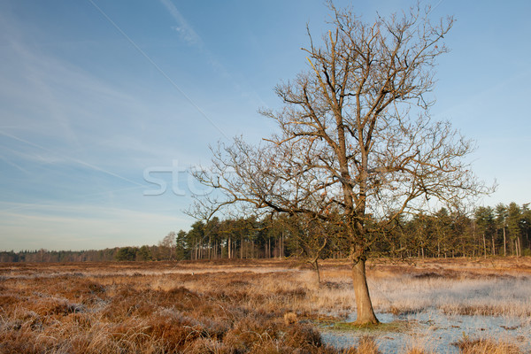 Heather landscape in winter Stock photo © ivonnewierink