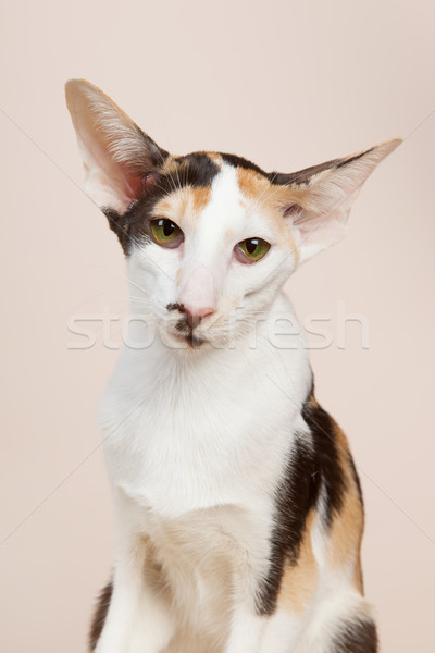 Oriental Shorthair cat Stock photo © ivonnewierink