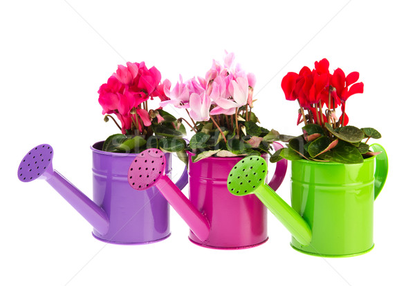 Red and pink Cyclamen Stock photo © ivonnewierink