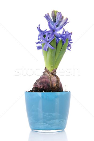 Kék jácint virágcserép izolált fehér tavasz Stock fotó © ivonnewierink
