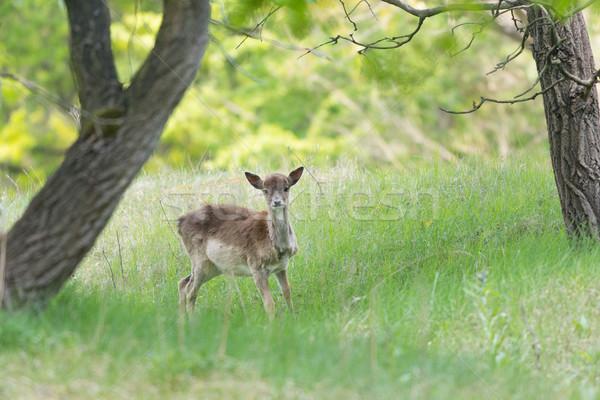 Roe deer standing in high grass Stock photo © ivonnewierink
