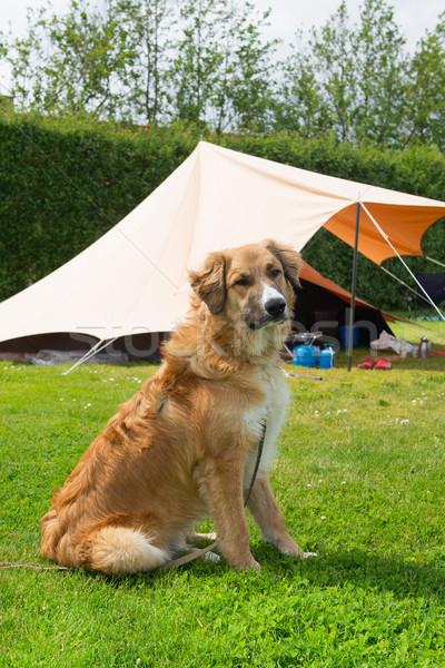 犬 テント キャンプ場 幸せ 夏 ストックフォト © ivonnewierink