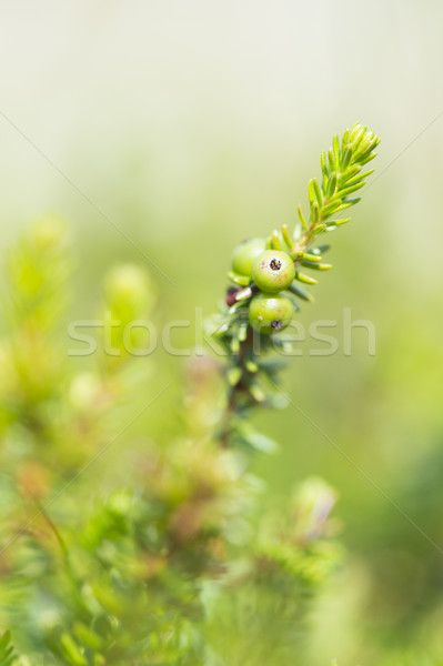 Crowberry with green berries Stock photo © ivonnewierink