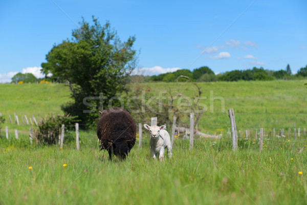 Black sheep with lamb Stock photo © ivonnewierink