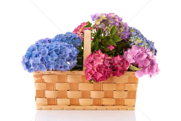 Bouquet pink and blue Hydrangea Stock photo © ivonnewierink