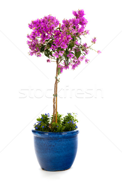 подробность синий банка Purple синий цветок изолированный Сток-фото © ivonnewierink