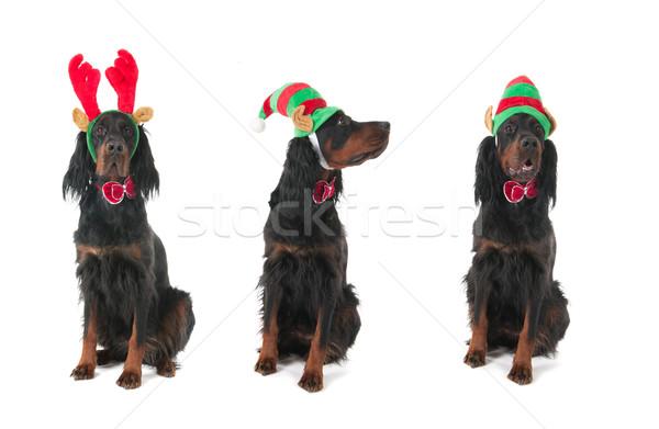 Köpekler Noel komik yeşil şapka beyaz Stok fotoğraf © ivonnewierink