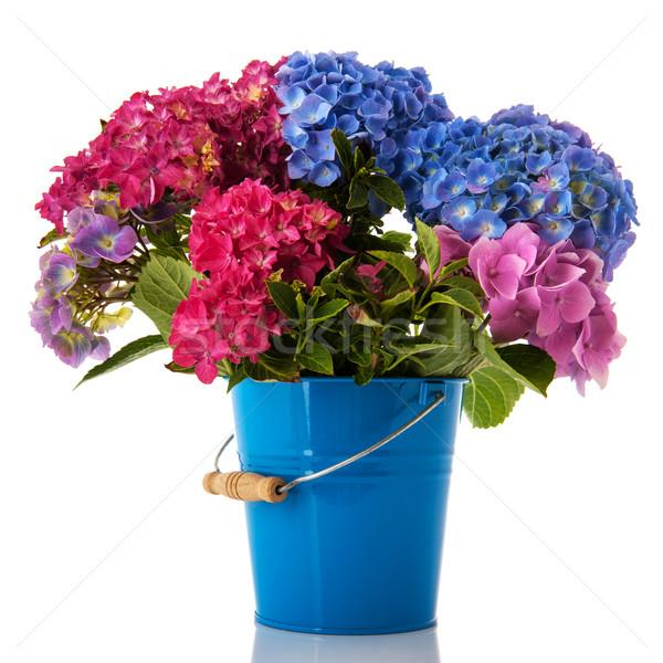 Colorful Hydrangea Stock photo © ivonnewierink