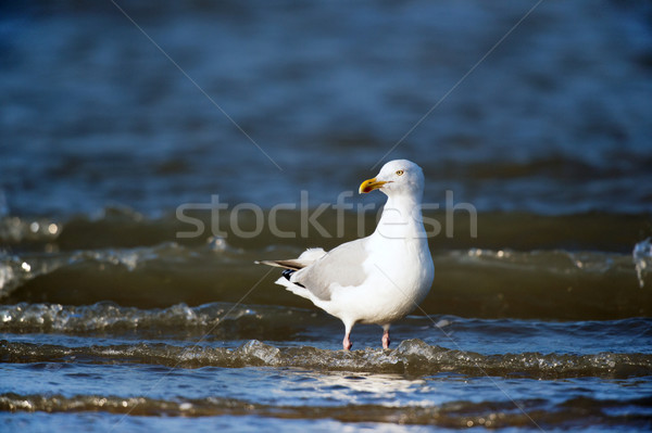 Lesser Black-backed Gull Stock photo © ivonnewierink